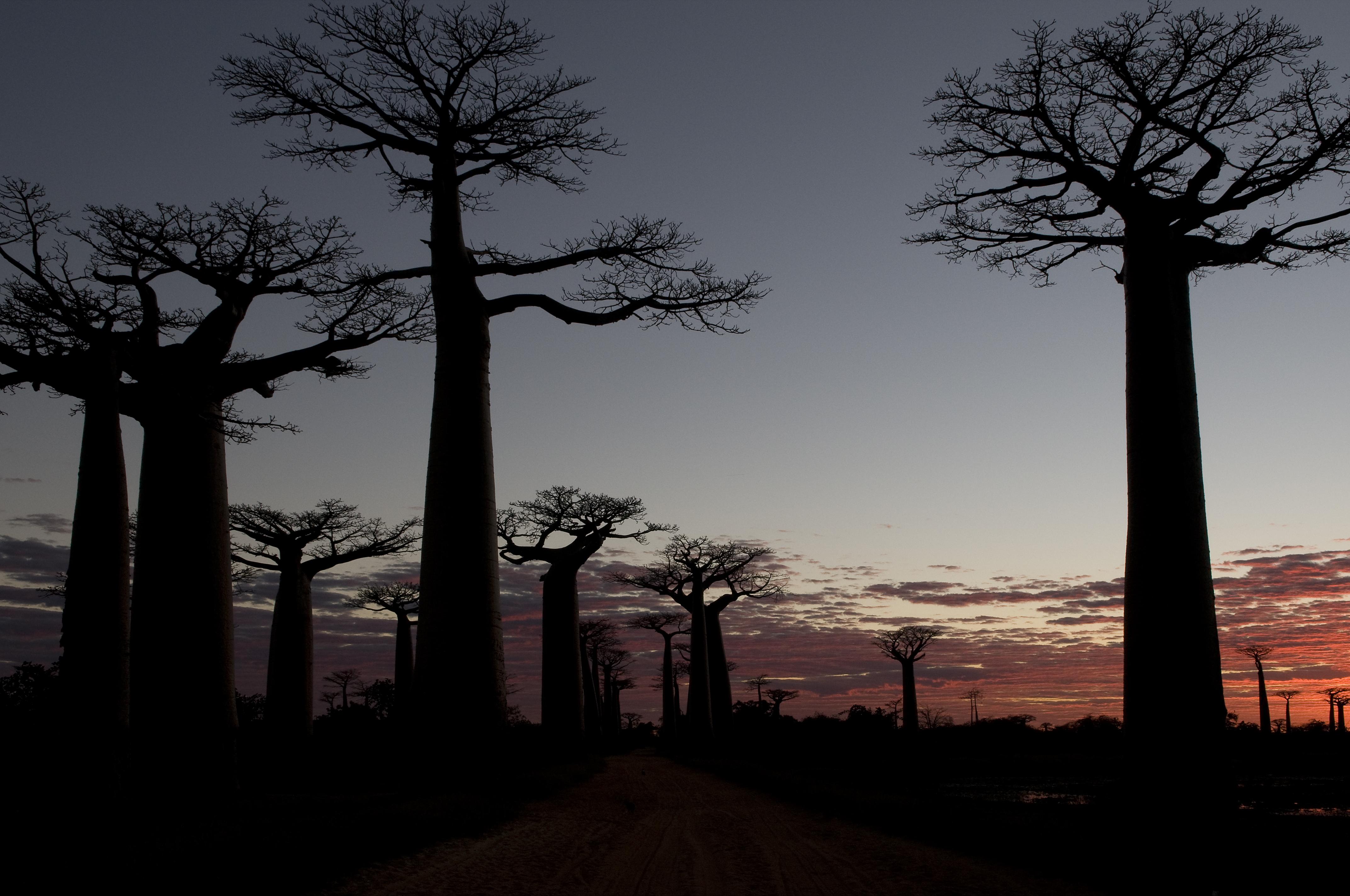 Allé des Baobab Morondava